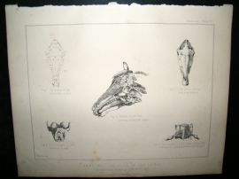 Miles Practical Farriery C1875 Antique Print. Anatomy of Head of Horse